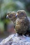 adolescent;adolescents;alpine-parrot;alpine-parrots;Animal;Animals;beak;beaks;bird;birds;cheeky;fauna;feather;feathers;Franz-Josef-Glacier;indigenous;juvenile;juveniles;Kea;keas;native;natives;natural;Nature;nestor-notabilis;New-Zealand;New-Zealand-Alpine-Parrot;Ornithology;pair;parrot;parrots;South-Island;South-West-New-Zealand-World-He;southern-alps;Te-Poutini-National-Park;Te-Wahipounamu;two;West-Coast;westland;Westland-National-Park;Wild;wildlife