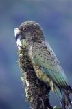 adolescent;alpine-parrot;alpine-parrots;Animal;Animals;beak;beaks;bird;birds;bite;bites;biting;cheeky;fauna;feather;feathers;Franz-Josef-Glacier;indigenous;juvenile;Kea;keas;native;natives;natural;Nature;nestor-notabilis;New-Zealand;New-Zealand-Alpine-Parrot;Ornithology;parrot;parrots;South-Island;South-West-New-Zealand-World-He;southern-alps;Te-Poutini-National-Park;Te-Wahipounamu;tree;West-Coast;westland;Westland-National-Park;Wild;wildlife
