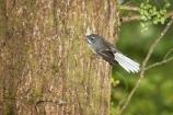 Animal;animals;avian;Beak;bird;bird-watching;bird_watching;birds;eco-tourism;eco_tourism;ecotourism;Fantail;Fauna;Feather;forest;forests;Greenstone-Valley;N.Z.;native-wildlife;Natural;Nature;New-Zealand;New-Zealand-NZ;Ornithology;Rhipidura-fuliginosa;S.I.;SI;South-Is;South-island;tree-trunk;wild;wildlife;Wing
