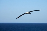 albatross;albatross-colony;albatrosses;Animal;animals;avian;Beak;bird;bird-watching;bird_watching;birds;colonies;colony;Diomedea-epomophora;Dunedin;eco-tourism;eco_tourism;ecotourism;Fauna;Feather;flight;fly;flying;marine;N.Z.;Natural;Nature;New-Zealand;northern-royal-albatross;NZ;Ornithology;Otago;Otago-Peninsula;Royal-Albatross;Royal-Albatrosses;S.I.;SI;soar;soaring;South-Is.;South-Island;Taiaroa-Head;Taiaroa-Heads;wild;Wildlife;Wing;wingspan