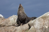 Arctocephalus-forsteri;coast;coastal;coastline;external-ears;fur;Fur-Seal;kaikoura;Kaikoura-Coast;mammal;mammals;marine;Marlborough;N.Z.;native;natural-history;nature;New-Zealand;New-Zealand-Fur-Seal;NZ;NZ-Fur-Seal;ocean;pointy-nose;S.I.;sea;seal;seals;SI;snout;South-Is.;South-Island;water;whiskers;wildife
