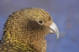 adolescent;alpine-parrot;alpine-parrots;Animal;Animals;beak;beaks;bill;bird;birds;bite;bites;biting;Canterbury;cheeky;close_up;closeup;fauna;feather;feathers;Fiordland;indigenous;Kea;keas;N.Z.;native;native-wildlife;natives;natural;Nature;nestor-notabilis;New-Zealand;New-Zealand-Alpine-Parrot;New-Zealand-NZ;NZ;Ornithology;parrot;parrots;S.I.;SI;South-Is;South-Island;southern-alps;State-Highway-73;State-Highway-Seventy-Three;Wild;wildlife