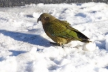 alpine-parrot;alpine-parrots;Animal;Animals;bird;birds;cheeky;close_up;closeup;fauna;feather;feathers;Fiordland;head;indigenous;Kea;keas;N.Z.;native;native-wildlife;natives;natural;Nature;nestor-notabilis;New-Zealand;New-Zealand-Alpine-Parrot;New-Zealand-NZ;NZ;Ornithology;parrot;parrots;S.I.;SI;South-Is;South-island;southern-alps;West-Coast;Westland;Wild;wildlife