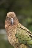 3137;alpine;alpine-parrot;alpine-parrots;Animal;Animals;beak;beaks;bill;bird;birds;cheeky;Closeup;close_up;crw;fauna;feather;feathers;fiordland;Fiordland-N.P;Fiordland-National-Park;Fiordland-NP;indigenous;island;kea;keas;milford;N.Z.;national;national-park;National-parks;native;native-wildlife;natives;natural;nature;nestor;nestor-notabilis;new;new-zealand;New-Zealand-Alpine-Parrot;New-Zealand-NZ;notabilis;NZ;ornithology;park;parrot;parrots;road;S.I.;SI;south;South-Is;South-Is.;South-Island;south-west-new-zealand-world-her;Southland;te-wahipounamu;te-wahipounamu-south_west-new;Wild;Wildlife;World-Heritage-Area;World-Heritage-Site;zealand