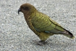 alpine;alpine-parrot;alpine-parrots;Animal;Animals;bird;birds;cheeky;Closeup;close_up;fauna;feather;feathers;fiordland;Fiordland-N.P;Fiordland-National-Park;Fiordland-NP;indigenous;island;kb1a5169;kea;keas;milford;N.Z.;national;national-park;National-parks;native;native-wildlife;natives;natural;nature;nestor;nestor-notabilis;new;new-zealand;New-Zealand-Alpine-Parrot;New-Zealand-NZ;notabilis;NZ;ornithology;park;parrot;parrots;road;S.I.;SI;south;South-Is;South-Is.;South-Island;south-west-new-zealand-world-her;Southland;te-wahipounamu;te-wahipounamu-south_west-new;Wild;Wildlife;World-Heritage-Area;World-Heritage-Site;zealand