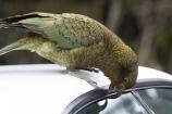 alpine;alpine-parrot;alpine-parrots;Animal;Animals;bird;birds;bite;bites;biting;car;car-door-rubber;car-window-rubber;cheeky;Closeup;close_up;door;eating;fauna;feather;feathers;fiordland;Fiordland-N.P;Fiordland-National-Park;Fiordland-NP;indigenous;island;kb1a5186;kea;keas;milford;N.Z.;national;national-park;National-parks;native;native-wildlife;natives;natural;nature;nestor;nestor-notabilis;new;new-zealand;New-Zealand-Alpine-Parrot;New-Zealand-NZ;notabilis;NZ;ornithology;park;parrot;parrots;road;rubber;S.I.;SI;south;South-Is;South-Is.;South-Island;south-west-new-zealand-world-her;Southland;te-wahipounamu;te-wahipounamu-south_west-new;Wild;Wildlife;World-Heritage-Area;World-Heritage-Site;zealand