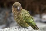 alpine;alpine-parrot;alpine-parrots;Animal;Animals;bird;birds;cheeky;Closeup;close_up;fauna;feather;feathers;fiordland;Fiordland-N.P;Fiordland-National-Park;Fiordland-NP;indigenous;island;kb1a5199;kea;keas;milford;N.Z.;national;national-park;National-parks;native;native-wildlife;natives;natural;nature;nestor;nestor-notabilis;new;new-zealand;New-Zealand-Alpine-Parrot;New-Zealand-NZ;notabilis;NZ;ornithology;park;parrot;parrots;road;S.I.;SI;south;South-Is;South-Is.;South-Island;south-west-new-zealand-world-her;Southland;te-wahipounamu;te-wahipounamu-south_west-new;Wild;Wildlife;World-Heritage-Area;World-Heritage-Site;zealand