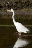 alba;Animal;Animals;aquatic-bird;Aquatic-birds;bird;birds;coast;coastal;coastline;egretta;Egretta-alba;endangered;estuaries;estuary;fauna;feather;feathers;fiordland;Fiordland-N.P;Fiordland-National-Park;Fiordland-NP;foreshore;heron;herons;island;kb1a5299;kotuku;N.Z.;national-park;National-parks;native;natives;natural;nature;new;new-zealand;NZ;ornithology;rare;S.I.;shore;shoreline;SI;south;South-Is.;South-Island;south-west-new-zealand-world-her;Southland;te-wahipounamu;te-wahipounamu-south_west-new;threatened;Wading-bird;Wading-birds;white;White-Heron;Wild;Wildlife;World-Heritage-Area;World-Heritage-Site;zealand