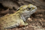 animal;bruce;capital;capitals;centre;cold-blooded;cold_blooded;dragon;dragons;island;lizard;lizards;Lower-North-Island;mount;Mount-Bruce-Wildlife-Centre;Mt-Bruce-Wildlife-Centre;Mt.-Bruce-Wildlife-Centre;N.I.;N.Z.;natural;nature;new;New-Zealand;NI;north;North-Is;north-is.;north-island;NZ;o8l7204;Pukaha;Pukaha-Mount-Bruce-Wildlife-Cent;reptile;reptiles;rhynchocephalia;Sphenodon-punctatus;tuatara;tuataras;wairarapa;wildlife;zealand