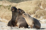 animal;animals;beach;beaches;bull;bulls;coast;coastal;coastline;Dunedin;Hookers-Sea-Lion;Hookers-Sea-Lions;Hookers-Sea-Lion;Hookers-Sea-Lions;juvenile;male;mammal;mammals;marine-mammal;marine-mammals;N.Z.;New-Zealand;New-Zealand-Sea-Lion;New-Zealand-Sea-Lions;NZ;Otago;Otago-Peninsula;Phocarctos-hookeri;S.I.;sand;Sandfly-Bay;sandy;sea-lion;sea-lion-calf;sea-lion-calfs;sea-lion-cub;sea-lion-cubs;sea-lion-pup;sea-lion-pups;sea-lions;shore;shoreline;SI;South-Is.;South-Island;tag-9003;wildlife