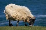 agricultural;agriculture;Animal;Animals;Britain;British-Isles;country;countryside;Craster;England;English;Europe;ewe;ewes;farm;Farm-animals;farming;farmland;farms;field;fields;G.B.;GB;Great-Britain;herbivore;herbivores;herbivorous;livestock;mammal;mammals;meadow;meadows;N.E.-England;NE-England;North-East-England;Northumberland;Outdoor;Outdoors;Outside;paddock;paddocks;pasture;pastures;rural;sheep;stock;U.K.;UK;United-Kingdom;white;wool;woolly;wooly