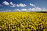 agricultural;agriculture;Britain;British-Isles;Christon-Bank;country;countryside;crop;crops;Embleton;England;English;Europe;farm;farming;farmland;farms;field;fields;G.B.;GB;Great-Britain;horticulture;meadow;meadows;N.E.-England;NE-England;North-East-England;Northumberland;paddock;paddocks;pasture;pastures;plant;plants;rape-field;rape-fields;rapeseed;rapeseed-field;rapeseed-fields;rapeseeds;rural;U.K.;UK;United-Kingdom;yellow;yellow-field;yellow-fields