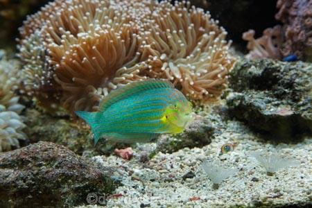chain_lined-wrasse;Coral-Coast;coral-reef;coral-reefs;Fij;Fiji-Islands;Grayhead-wrasse;Greyhead-wrasse;Halichoeres-leucurus;Halichoeres-richmondi;Korotogo;Kula-Eco-Park;Kula-Ecopark;marine;marine-life;marinelife;oceanlife;Pacific;reef;reefs;sealife;Sigatoka;South-Pacific;tourist-attraction;tourist-attractions;tropical-fish;tropical-fishes;tropical-reef;tropical-reefs;under-water;under_water;undersea;underwater;underwater-photo;underwater-photography;underwater-photos;Viti-Levu;Viti-Levu-Island
