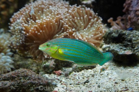 chain_lined-wrasse;Coral-Coast;coral-reef;coral-reefs;Fij;Fiji-Islands;Grayhead-wrasse;Greyhead-wrasse;Halichoeres-leucurus;Halichoeres-richmondi;Korotogo;Kula-Eco-Park;Kula-Ecopark;marine;marine-life;marinelife;oceanlife;Pacific;reef;reefs;sealife;Sigatoka;South-Pacific;tourist-attraction;tourist-attractions;tropical-fish;tropical-fishes;tropical-reef;tropical-reefs;under-water;under_water;undersea;underwater;underwater-photo;underwater-photography;underwater-photos;Viti-Levu;Viti-Levu-Island