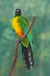 Animal;animals;Avian;Bird;bird-watching;bird_watching;birds;Coral-Coast;eco-tourism;eco_tourism;ecotourism;Fauna;Feather;Fij;Fiji-Islands;kaka;Korotogo;Kula-Eco-Park;Kula-Ecopark;Natural;Nature;Ornithology;Pacific;parrot;parrots;Sigatoka;South-Pacific;Sulphur_breasted-Musk-Parrot-Prosopeia-personata;tourist-attraction;tourist-attractions;Viti-Levu;Viti-Levu-Island;Wildlife