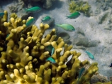 Blue_green-Chromis;Coral-Coast;coral-reef;coral-reefs;Damselfishe;Damselfishes;diving;Fij;Fiji-Islands;fish;Green-Chromis;Korotogo;marine;marine-environment;marine-life;marinelife;oceanlife;Outrigger-on-the-Lagoon;Pacific;Pacific-Ocean;reef;reefs;scuba-diving;sealife;Sigatoka;South-Pacific;tropical-fish;tropical-fishes;tropical-reef;tropical-reefs;under-water;under_water;undersea;underwater;underwater-photo;underwater-photography;underwater-photos;Viti-Levu;Viti-Levu-Island