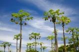 Carica-papaya;Coral-Coast;country;countryside;crop;crops;farm;farming;farmland;farms;field;Fij;Fiji;Fiji-Islands;fruit;fruit-tree;fruit-trees;horticulture;Lower-Sigatoka-River-Valley;Lower-Sigatoka-Valley;orchard;orchards;Pacific;papaw;papaya;papaya-orchard;papaya-plantation;papayas;pawpaw;pawpaw-orchard;pawpaw-plantation;pawpaws;row;rows;rural;Sigatoka;Sigatoka-Valley;South-Pacific;tree;trees;tropical-fruit;Viti-Levu