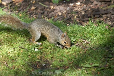 animal;animals;britain;City-of-Westminster;eastern-gray-squirrel;england;Europe;G.B.;GB;great-britain;grey-squirrel;kingdom;london;mammal;mammals;o8l4796;Royal-Parks-of-London;Saint-James-Park;Saint-Jamess-Park;Sciurus-carolinensis;St-James-Park;St-Jamess-Park;St.-James-Park;St.-Jamess-Park;U.K.;uk;united;United-Kingdom;Westminster;wildlife