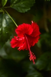 Akapuao-Tapere;bloom;blooms;Cook-Is;Cook-Islands;flower;flowers;garden;gardens;hibiscus;Hibiscus-rosa_sinensis;hibiscuses;Maire-Nui;Maire-Nui-Botanical-Gardens;Maire-Nui-Gardens;Mairie-Nui;Mairie-Nui-Botanical-Gardens;Mairie-Nui-Gardens;Pacific;plant;plants;Rarotonga;red;red-flower;red-flowers;Red-Hibiscus;South-Pacific;Titakaveka;tropical;tropical-flower;tropical-flowers;tropical-garden;tropical-gardens;tropical-island;tropical-islands;tropical-plant;tropical-plants