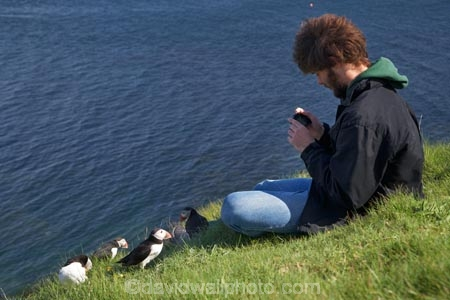 Alcidae;Alcinae;Animal;animals;Argyll-and-Bute;Atlantic-Puffin;Atlantic-Puffins;auk-family;Aves;avian;Beak;Bird;bird-watching;bird_watching;birds;Britain;Charadriiformes;Chordata;coastal;Common-Puffin;Common-Puffins;eco-tourism;eco_tourism;ecotourism;F.-arctica;Fauna;feather;feathers;Fratercula;Fratercula-arctica;Fraterculini;G.B.;GB;Great-Britain;Highlands;Inner-Hebrides;Island-of-Mull;Island-of-Staffa;Isle-of-Mull;Isle-of-Staffa;Lari;marine;Mull;Mull-Island;National-Nature-Reserve;Natural;natural-history;nature;Neoaves;Neognathae;Neornithes;Ornithology;pelagic-bird;pelagic-birds;puffin;puffins;Scotland;Scottish-Highlands;seabird-species;Stafa;Staffa;Staffa-Island;tourism;tourist;tourists;U.K.;UK;United-Kingdom;wild;wildlife