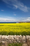 agricultural;agriculture;Banffshire;blue-amp;-yellow;blue-and-yellow;blue-skies;blue-sky;Britain;British-Isles;country;countryside;crop;crops;Cullen;dry-stone-wall;dry-stone-walls;drystone-wall;drystone-walls;farm;farming;farmland;farms;field;fields;G.B.;GB;Great-Britain;horticulture;meadow;meadows;Moray;paddock;paddocks;pasture;pastures;plant;plants;rape-field;rape-fields;rapeseed;rapeseed-field;rapeseed-fields;rapeseeds;rock-wall;rock-walls;rural;Scotland;stone-wall;stone-walls;U.K.;UK;United-Kingdom;yellow;yellow-amp;-blue;yellow-and-blue;yellow-field;yellow-fields