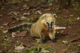 animal;animals;Argentina;Argentine-Republic;coati;coatimundi;coatimundis;coatis;Iguazu-N.P.;Iguazu-National-Park;Iguazu-NP;Iguazú-N.P.;Iguazú-National-Park;Iguazú-NP;Latin-America;mammal;mammals;Nasua-nasua;Procyonidae;racoon;racoons;ring_tailed-coati;ring_tailed-coatis;South-America;South-American-coati;South-American-coatis;South-American-wildlife;Sth-America;travel;wildlife
