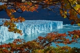 Argentina;Argentine-Patagonia;Argentine-Republic;Argentino-Lake;autuminal;autumn;autumn-colour;autumn-colours;autumnal;beech;beech-tree;beech-trees;beeches;blue-ice;Canal-de-los-Tempanos;cold;color;colors;colour;colours;deciduous;fall;Glaciar-Perito-Moreno;glacier;glacier-face;Glacier-National-Park;glacier-terminal-face;glacier-terminus;glaciers;gold;golden;ice;Iceberg-Channel;icefield;icefields;icy;Lago-Argentino;Latin-America;leaf;leaves;lenga;lenga-beech;lengas;Los-Glaciares;Los-Glaciares-N.P.;Los-Glaciares-National-Park;Los-Glaciares-NP;Magellanes-Peninsula;national-park;national-parks;Northofagus;Northofagus-pumilio;NP;orange;park;parks;Parque-Nacional-Los-Glaciares;Patagonia;Patagonian;Peninsula-Magellanes;Perito-Moreno;Perito-Moreno-Glacier;Santa-Cruz-Province;season;seasonal;seasons;South-America;South-Argentina;Southern-Argentina;southern-beech;southern-beeches;Sth-America;terminal-face;terminus;travel;tree;trees;UN-world-heritage-area;UN-world-heritage-site;UNESCO-World-Heritage-area;UNESCO-World-Heritage-Site;united-nations-world-heritage-area;united-nations-world-heritage-site;world-heritage;world-heritage-area;world-heritage-areas;World-Heritage-Park;World-Heritage-site;World-Heritage-Sites;yellow