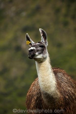 anamal;camelid;camelids;Camino-Inca;Camino-Inka;Cusco-Region;domestic-stock;Inca-Trail;Lama;Lama-Glama;lamoids;Latin-America;Llama;Llamas;Machu-Picchu;Machu-Pichu;Machupicchu-District;Peru;Republic-of-Peru;Sacred-Valley;Sacred-Valley-of-the-Incas;South-America;Sth-America;stock;UN-world-heritage-area;UN-world-heritage-site;UNESCO-World-Heritage-area;UNESCO-World-Heritage-Site;united-nations-world-heritage-area;united-nations-world-heritage-site;Urubamba-Province;world-heritage;world-heritage-area;world-heritage-areas;World-Heritage-Park;World-Heritage-site;World-Heritage-Sites