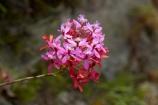 Camino-Inca;Camino-Inka;Cusco-Region;flower;flowers;Inca-Trail;Latin-America;Machupicchu-District;orchid;orchids;Peru;pink;pink-flower;Republic-of-Peru;Sacred-Valley;Sacred-Valley-of-the-Incas;South-America;Sth-America;Urubamba-Province;wild-flower;wild-flowers