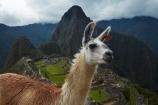 anamal;ancient;ancient-culture;archaeology;attraction;camelid;camelids;Camino-Inca;Camino-Inka;Cusco-Region;destination;domestic-stock;heritage;historic;history;Huayna-Picchu;Huayna-Picchu-Peak;Inca;Inca-Citadel;Inca-City;Inca-Ruins;Inca-site;Inca-Trail;Inka;Lama;Lama-Glama;lamoids;Latin-America;Llama;Llamas;lost-city;Machu-Picchu;Machu-Pichu;Machupicchu-District;Peru;Republic-of-Peru;ruin;ruins;Sacred-Valley;Sacred-Valley-of-the-Incas;South-America;Sth-America;stock;tourism;tourist-attraction;tourist-site;tourist-sites;travel;UN-world-heritage-area;UN-world-heritage-site;UNESCO-World-Heritage-area;UNESCO-World-Heritage-Site;united-nations-world-heritage-area;united-nations-world-heritage-site;Urubamba-Province;Urubamba-Valley;world-heritage;world-heritage-area;world-heritage-areas;World-Heritage-Park;World-Heritage-site;World-Heritage-Sites