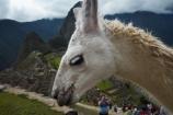 anamal;ancient;ancient-culture;archaeology;attraction;camelid;camelids;Camino-Inca;Camino-Inka;Cusco-Region;destination;domestic-stock;heritage;historic;history;Inca;Inca-Citadel;Inca-City;Inca-Ruins;Inca-site;Inca-Trail;Inka;Lama;Lama-Glama;lamoids;Latin-America;Llama;Llamas;lost-city;Machu-Picchu;Machu-Pichu;Machupicchu-District;Peru;Republic-of-Peru;ruin;ruins;Sacred-Valley;Sacred-Valley-of-the-Incas;South-America;Sth-America;stock;tourism;tourist-attraction;tourist-site;tourist-sites;travel;UN-world-heritage-area;UN-world-heritage-site;UNESCO-World-Heritage-area;UNESCO-World-Heritage-Site;united-nations-world-heritage-area;united-nations-world-heritage-site;Urubamba-Province;Urubamba-Valley;world-heritage;world-heritage-area;world-heritage-areas;World-Heritage-Park;World-Heritage-site;World-Heritage-Sites
