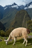 anamal;camelid;camelids;Camino-Inca;Camino-Inka;Cusco-Region;domestic-stock;Inca-Trail;Lama;Lama-Glama;lamoids;Latin-America;Llama;Llamas;Machu-Picchu;Machu-Pichu;Machupicchu-District;Peru;Republic-of-Peru;Sacred-Valley;Sacred-Valley-of-the-Incas;South-America;Sth-America;stock;tourism;travel;UN-world-heritage-area;UN-world-heritage-site;UNESCO-World-Heritage-area;UNESCO-World-Heritage-Site;united-nations-world-heritage-area;united-nations-world-heritage-site;Urubamba-Province;world-heritage;world-heritage-area;world-heritage-areas;World-Heritage-Park;World-Heritage-site;World-Heritage-Sites