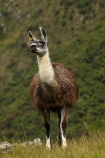 anamal;camelid;camelids;Camino-Inca;Camino-Inka;Cusco-Region;domestic-stock;Inca-Trail;Lama;Lama-Glama;lamoids;Latin-America;Llama;Llamas;Machu-Picchu;Machu-Pichu;Machupicchu-District;Peru;Republic-of-Peru;Sacred-Valley;Sacred-Valley-of-the-Incas;South-America;Sth-America;stock;UN-world-heritage-area;UN-world-heritage-site;UNESCO-World-Heritage-area;UNESCO-World-Heritage-Site;united-nations-world-heritage-area;united-nations-world-heritage-site;Urubamba-Province;world-heritage;world-heritage-area;world-heritage-areas;World-Heritage-Park;World-Heritage-site;World-Heritage-Sites