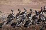 animal;animals;avian;Ballestas-Islands;Ballestas-Islands-Tour;bird;bird-spotting;bird-watching;bird_watching;birds;coast;coastal;coastline;coastlines;eco-tourism;eco_tourism;ecotourism;Fauna;Ica-Region;Islas-Ballestas;Latin-America;Natural;Nature;Ornithology;Paracas;Paracas-Disctrict;Paracas-National-Reserve;Paracas-Peninsula;Pelecanus-thagus;pelican;pelicans;Peru;Peruvian-pelican;Peruvian-pelicans;Pisco-Bay;Pisco-Province;Republic-of-Peru;reserve;reserves;South-America;South-American-wildlife;Sth-America;wild;wildlife