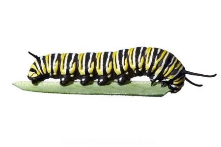 animal;animals;Asclepias;caterpillars;close_up;closeup;Danaus-plexippus;insect;insects;instar;invertebrate;larva;life-cycle;life_cycle;lifecycle;macro;metamorphosis;Milkweed;Monarch-Butterflies;Monarch-Butterfly;Monarch-Caterpillar;cutout