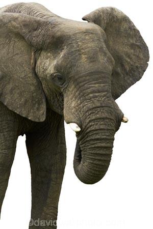 Africa;African;bush;elephant;animal;Loxodonta-africana;mammal;pachyderm;Southern-Africa;wildlife;cutout;cut;out
