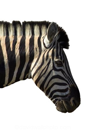 Africa;animal;Burchells-zebra;Equus-quagga;Equus-quagga-burchellii;mammal;Southern-Africa;wildlife;zebra;cutout;cut;out