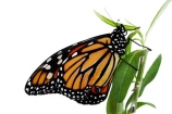 animal;animals;Asclepias;close_up;closeup;Danaus-plexippus;insect;insects;invertebrate;life-cycle;life_cycle;lifecycle;macro;metamorphosis;Milkweed;Monarch-Butterflies;Monarch-Butterfly;orange;cutout