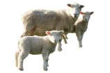 farming;mother;New-Zealand;NZ;pair;sheep;spring;stock;twin;twins;two;wool;woolly;cutout;cut;out;lamb;ewe