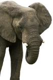 Africa;African;bush;elephant;animal;Loxodonta-africana;mammal;pachyderm;Southern-Africa;wildlife;cutout;cut;out