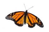animal;Asclepias;Danaus-plexippus;insect;invertebrate;Monarch;Butterfly;orange;cutout;cut;out;orange;black