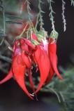 cluster;clusters;edible;endemic;flower;flowers;Kowhai-ngutukaka;legume;nitrogen-fixing-plant;pea-family;rare;red;seedpods;shrub;shrubs