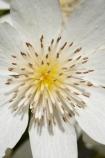 bloom;blooming;blooms;Clematis-paniculata;Dunedin;flower;flowers;fresh;grow;growth;N.Z.;Native-Clematis-Flower;New-Zealand;NZ;Otago;petal;petals;pistil;Ranunculaceae;renew;S.I.;season;seasonal;seasons;SI;South-Is.;South-Island;spring;springtime;stamen