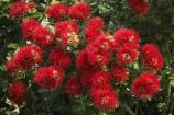 crimson;Dunedin;flower;flowers;icon;icons;metrosideros-excelsa;N.Z.;New-Zealand;NZ;Otago;plant;plants;pohutukawa;Pohutukawa-Flower;Pohutukawa-Flowers;pohutukawas;red;S.I.;SI;South-Is.;South-Island;symbol