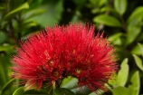 crimson;crimson-flower;crimson-flowers;Dunedin;flower;flowers;metrosideros-excelsa;N.Z.;native;native-plant;native-plants;New-Zealand;NZ;Otago;plant;plants;pohutakawa;pohutakawas;pohutukawa;pohutukawa-flower;pohutukawa-flowers;pohutukawa-tree;pohutukawa-trees;pohutukawas;red;red-flower;red-flowers;S.I.;SI;South-Is;South-Island;summer;tree;trees
