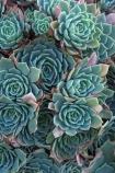 Echeveria;Echeveria-elegans;N.Z.;New-Zealand;NZ;pattern;patterns;plant;plants;S.I.;SI;South-Is.;South-Island;succulent;succulents
