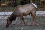 America;American-Southwest;animal;animals;Arizona;AZ;Cervus-elaphus;Elk;Gran-Cañón;Grand-Canyon;Grand-Canyon-National-Park;Grand-Canyon-South-Rim;mammal;mammals;Ongtupqa;South-Rim;South-Rim-Grand-Canyon;South-west-United-States;South-west-US;South-west-USA;South-western-United-States;South-western-US;South-western-USA;Southwest-United-States;Southwest-US;Southwest-USA;Southwestern-United-States;Southwestern-US;Southwestern-USA;States;Sth-Rim;The-Grand-Canyon;the-Southwest;Trailer-Village;U.S.A;UN-world-heritage-area;UN-world-heritage-site;UNESCO-World-Heritage-area;UNESCO-World-Heritage-Site;united-nations-world-heritage-area;united-nations-world-heritage-site;United-States;United-States-of-America;USA;Wapiti;Wapiti-Elk;Wi:kai:la;wildlife;world-heritage;world-heritage-area;world-heritage-areas;World-Heritage-Park;World-Heritage-site;World-Heritage-Sites