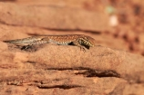 America;American-Southwest;Arizona;AZ;Common-Side_blotched-Lizard;Common-Side_blotched-Lizards;GCNRA;Glen-Canyon-National-Recreation-Area;Glen-Canyon-NRA;Horseshoe-Bend;lizard;lizards;Page;reptile;reptiles;South-west-United-States;South-west-US;South-west-USA;South-western-United-States;South-western-US;South-western-USA;Southwest-United-States;Southwest-US;Southwest-USA;Southwestern-United-States;Southwestern-US;Southwestern-USA;States;the-Southwest;U.S.A;United-States;United-States-of-America;USA;Uta-stansburiana