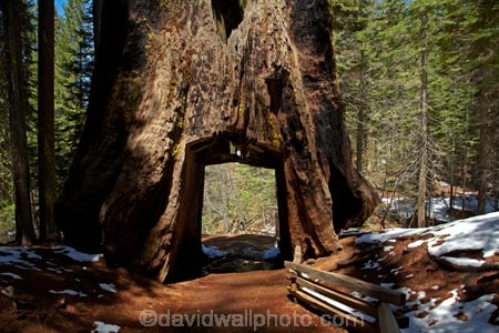 Dead Giant Tunnel Tree Tuolumne Grove Near Crane Flat