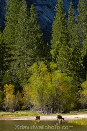 America;American;brook;brooks;CA;California;creek;creeks;deer;doe;does;female;female-deer;females;forest;forested;forests;mammal;Mirror-Lake;Mirror-Lake-Look-Trail;Mirror-Lake-Loop-Trail;Mirror-Lake-Trail;Mule-deer;national-park;national-parks;Odocoileus-hemionus;Sierra-Nevada;Sierra-Nevada-foothills;States;stream;streams;Tenaya-Canyon;Tenaya-Creek;Tenaya-River;Tenaya-Stream;tree;trees;U.S.A;UN-world-heritage-area;UN-world-heritage-site;UNESCO-World-Heritage-area;UNESCO-World-Heritage-Site;united-nations-world-heritage-area;united-nations-world-heritage-site;United-States;United-States-of-America;USA;water;West-Coast;West-United-States;West-US;West-USA;Western-United-States;Western-US;Western-USA;wildlife;world-heritage;world-heritage-area;world-heritage-areas;World-Heritage-Park;World-Heritage-site;World-Heritage-Sites;Yosemite;Yosemite-N.P.;Yosemite-Nat-Pk;Yosemite-National-Park;Yosemite-NP;Yosemite-Valley
